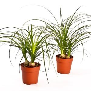 Beaucarnea recurvata (Bunnik Plants)