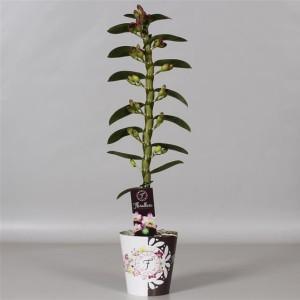 Dendrobium nobile 'Irene's Smile'
