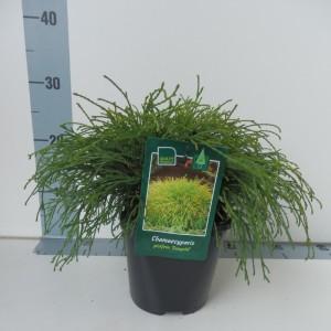 Chamaecyparis pisifera 'Sungold'
