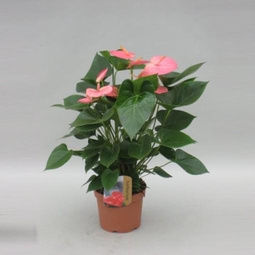 Anthurium PANDOLA (Kwekerij van Wijk - FlorXL)
