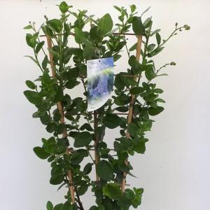 Ceanothus arboreus 'Trewithen Blue' (Dool Botanic)