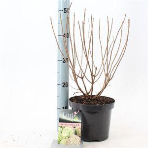 Hydrangea paniculata LITTLE LIME