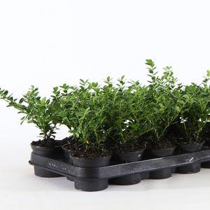 Ilex crenata 'Green Hedge' (Boomkwekerij Ronald Roos B.V.)