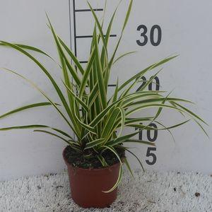 Carex morrowii 'Goldband'