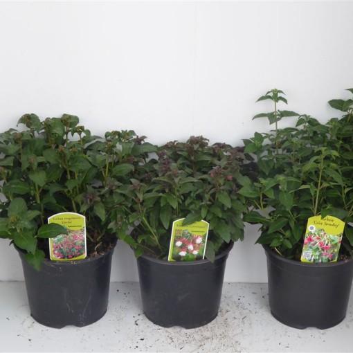 Fuchsia magellanica MIX (Experts in Green)
