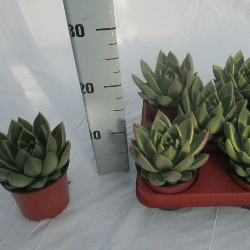Echeveria agavoides (Experts in Green)