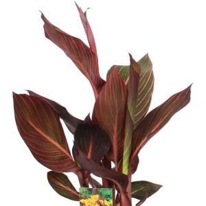 Canna 'Durban' (Vreugdenhil Bulbs & Plants)
