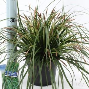Carex oshimensis 'Eversheen'