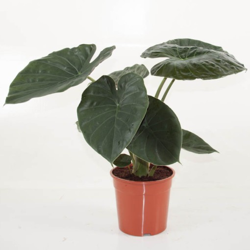 Alocasia wentii (Ammerlaan, The Green Innovater)