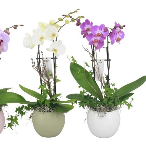 Arrangements Phalaenopsis (Stolk Orchids)