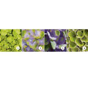 Hydrangea macrophylla MAGICAL AMETHYST (De Jong Plant BV)