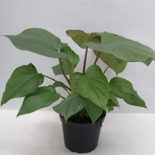 Homalomena rubescens (Gasa DK)