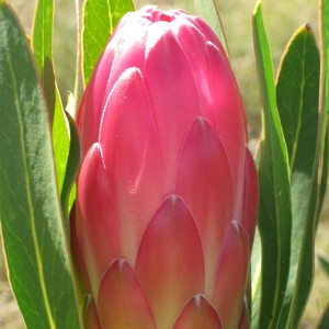Protea 'Liebencherry'