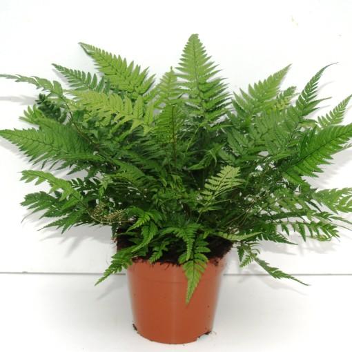 Athyrium spicatum (Ruhé Varens B.V.)
