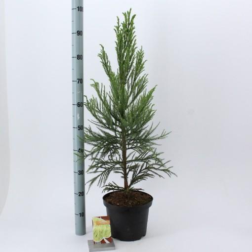 Cryptomeria japonica 'Lobbii' (About Plants Zundert BV)