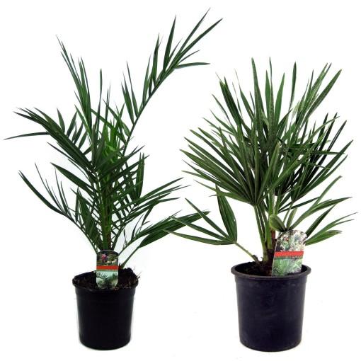 Palms MIX (Luiten kwekerij)