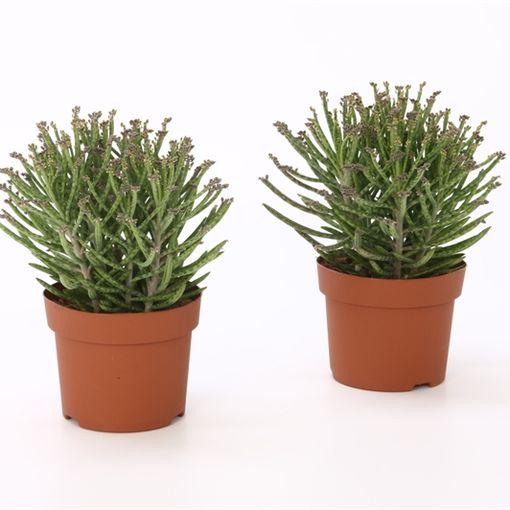 Kalanchoe tubiflora (Bunnik Plants)