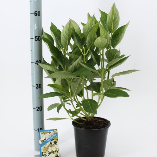 Hydrangea macrophylla 'Libelle' (About Plants Zundert BV)