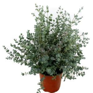 Eucalyptus gunnii