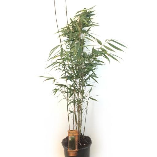 Fargesia robusta 'Pingwu' (Oprins Plant)