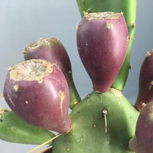 Opuntia vulgaris (van der Hoorn Succulenten)