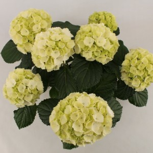 Hydrangea macrophylla 'Schneeball' (Bas van der Wilt)