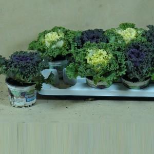 Brassica oleracea MIX (Kwekerij den Deyl)