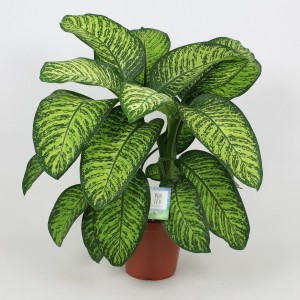 Dieffenbachia 'Tropic Jewel'