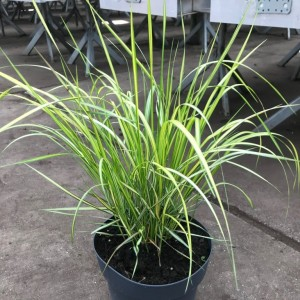Calamagrostis x acutiflora 'Eldorado' (Experts in Green)