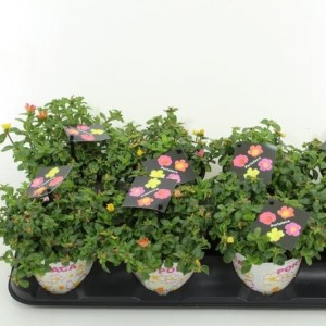 Portulaca umbraticola MIX