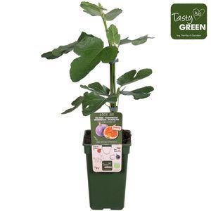 Ficus carica 'Gustissimo Perretta'