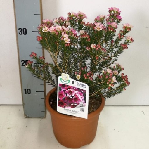 Chamelaucium 'Sarah's Delight' (Flora Toscana)
