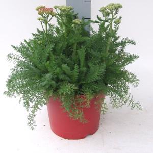Achillea millefolium DESERT EVE DEEP ROSE