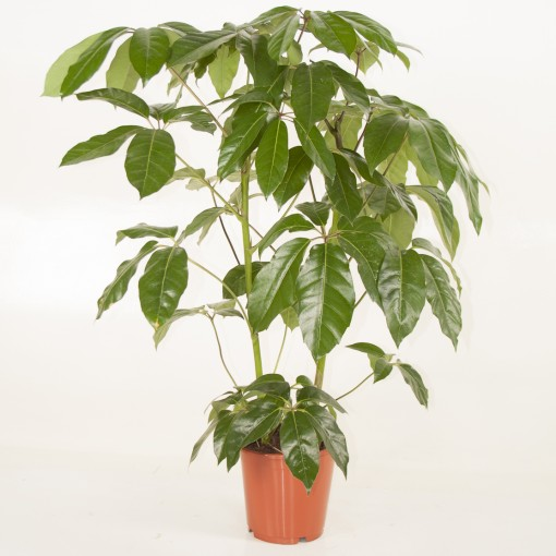 Schefflera actinophylla 'Amate' (Ammerlaan, The Green Innovater)