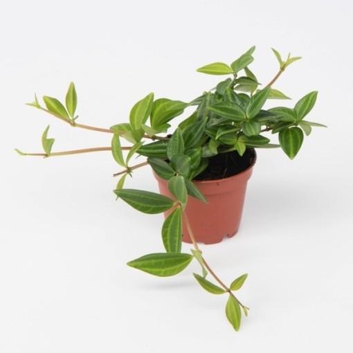 Peperomia rotundifolia (Gasa DK)