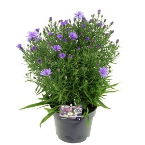 Aster 'Blue Baby'
