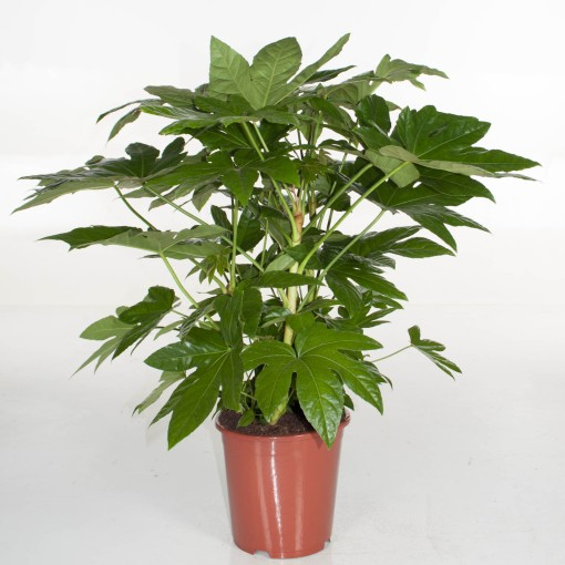 Fatsia japonica (Ammerlaan, The Green Innovater)