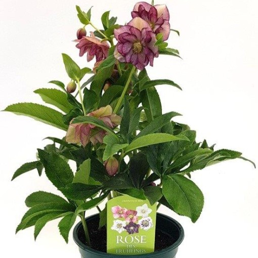 Helleborus 'Stained Glass' (Experts in Green)