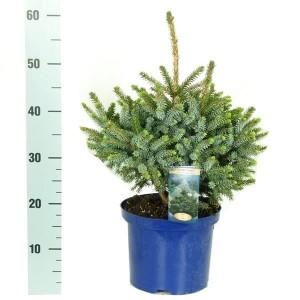 Picea omorika 'Nana' (Vredebest, Kwekerij )