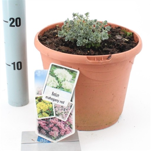 Sedum 'Mahogany Red' (About Plants Zundert BV)