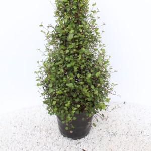 Muehlenbeckia complexa (Experts in Green)