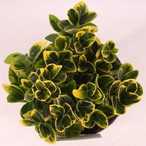 Euonymus japonicus 'Aureomarginatus' (Handelskwekerij van der Velden)
