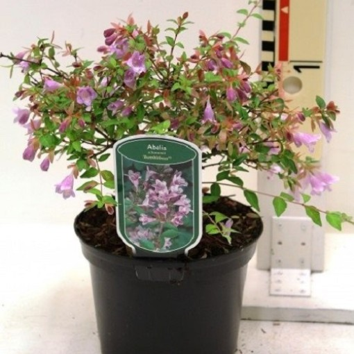 Abelia schumannii 'Bumblebee' (CPB Sales)