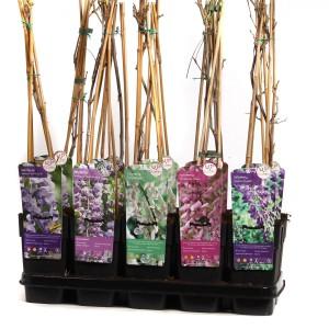 Wisteria MIX (Hoogeveen Plants)