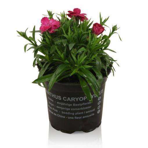 Dianthus OSCAR PURPLE (Adrichem Potplanten)