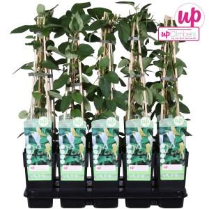 Lonicera japonica 'Halliana' (Hoogeveen Plants)