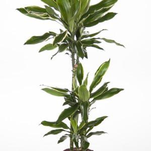 Dracaena fragrans 'Goldream'
