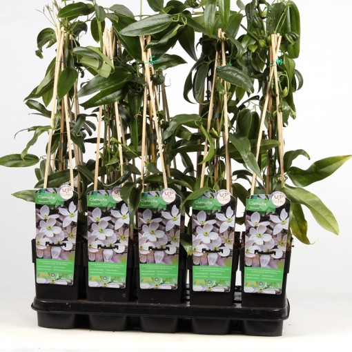 Clematis armandii (Hoogeveen Plants)
