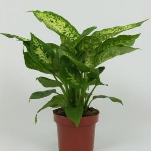 Dieffenbachia 'Compacta'