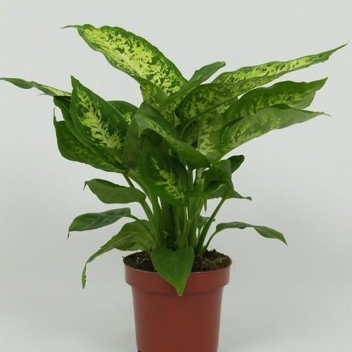 Dieffenbachia 'Compacta' (Elstgeest)